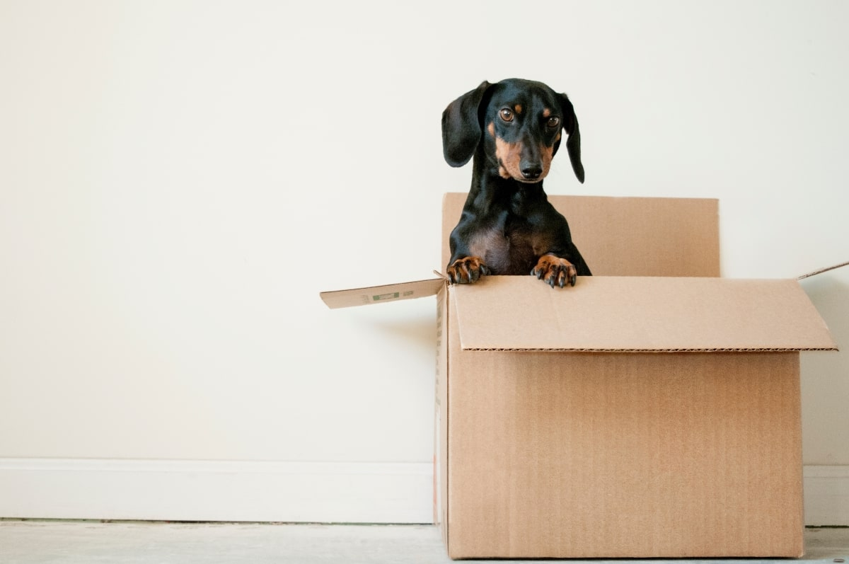 Dog in moving box.