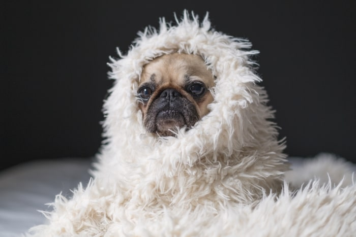 Pug wrapped up in white furry blanket.