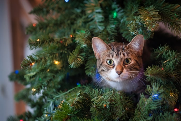 Cat sitting in Christmas tree.