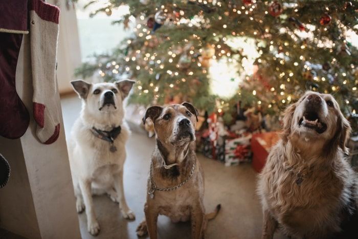 Dogs sitting in front of Christmas tree.