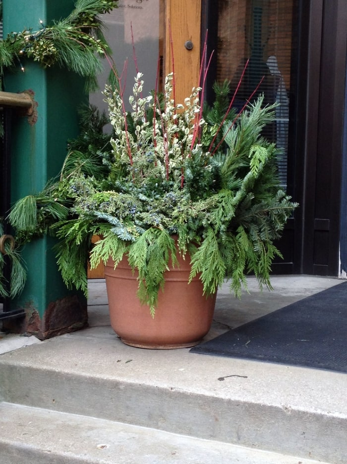 Potted mixed evergreen