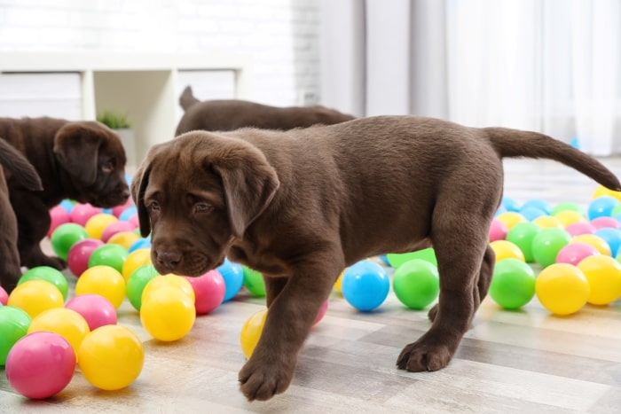 Chocolate lab puppies playing with balls.