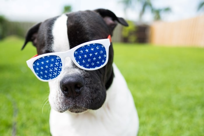 Black and white dog with patriotic sunglasses.