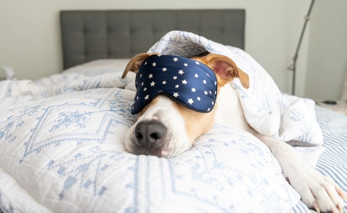 Dog laying on bed with sleep mask on.
