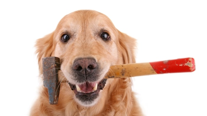 Golden retriever holding hammer in mouth.