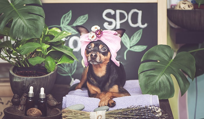 Dog dressed for spa day with pink towel.