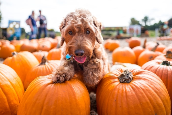 Golden doodle at the pumpkin patch.