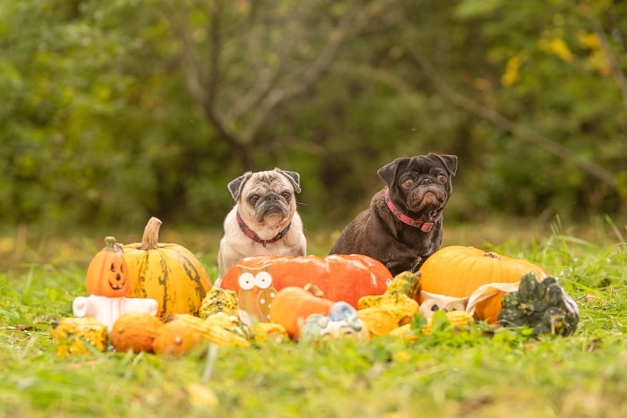 Pugs with pumpkins.