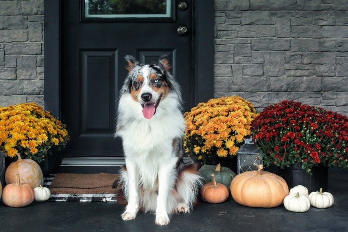 Dog on front porch with mums and pumpkins.