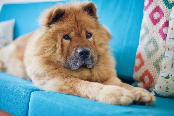 Red chow chow dog on blue couch.