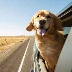 Dog in car on road trip | Schlage