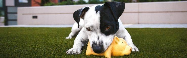 Black and white dog chewing on toy.